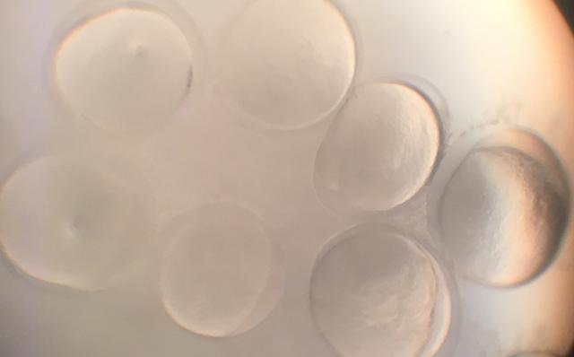 银鱼受精卵
