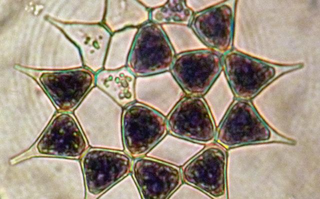 绿藻门--盘星藻